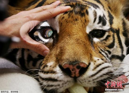 当地时间2016年11月16日,澳大利亚悉尼,Zambi野生动物园的孟加拉虎Indira接受小型眼科手术,以治愈她的对眼。