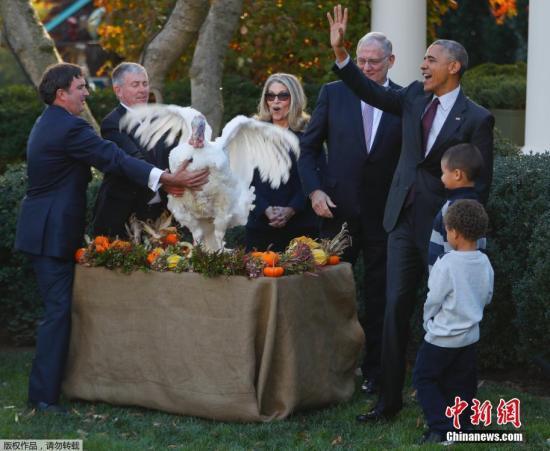 """当地时间2016年11月23日,美国华盛顿,感恩节将至,美国总统奥巴马在白宫举行仪式,赦免本年度国家感恩节火鸡""""亚伯""""(Abe)和""""诚实""""Honest。""""亚伯""""的替补、和它一起来到白宫的火鸡""""诚实""""(Honest)当天虽未出现在仪式现场,但也获得了奥巴马的赦免。按照传统,虽然奥巴马只需赦免一只火鸡,但为避免火鸡出现突发状况无法履行职责,白宫会准备一只""""替补""""火鸡。"""