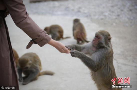 资料图片:猴子。