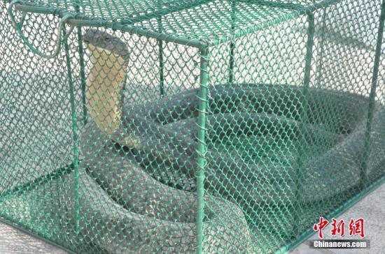材料图:眼镜王蛇。据悉,此种蛇是天下上体型最少的毒蛇,已被列进《濒危家活泼动物种国际商业条约》附录II名录中。正在中国,眼镜王蛇次要散布于云北等天,次要栖息于寒带雨林中,进犯性很强、速率很快,是天下上最伤害的蛇类之一。乔光林 摄