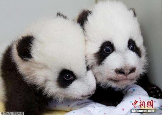"""12月12日,美国亚特兰大动物园为一对雌性大熊猫双胞胎宝宝举行百天命名仪式,给姐妹俩分别起名""""雅伦""""和""""喜伦""""。这对名字是2.3万名熊猫""""粉丝""""从七对候选名字中投票选出的,其中有约一半人选择了这对具有中国特色又表达美好寓意的名字。图为""""雅伦""""和""""喜伦""""。"""