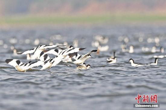 资料图:一群反嘴鹬在湖南东洞庭湖国家级自然保护区振翅齐飞。李风 摄