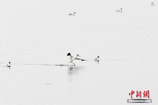 """图为一只反嘴鹬在湖南东洞庭湖国家级自然保护区秀""""水上漂""""。李风 摄"""