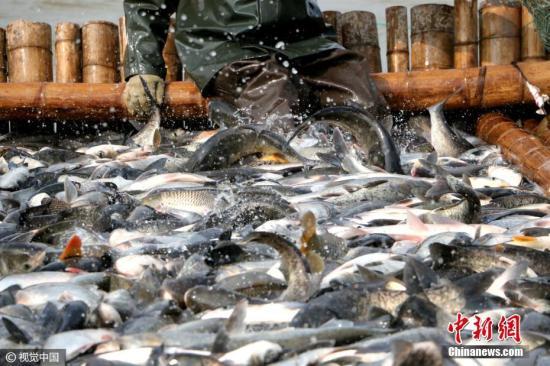 资料图:江西九江湖口县南北港水产养殖场冬捕场面。图片来源:视觉中国