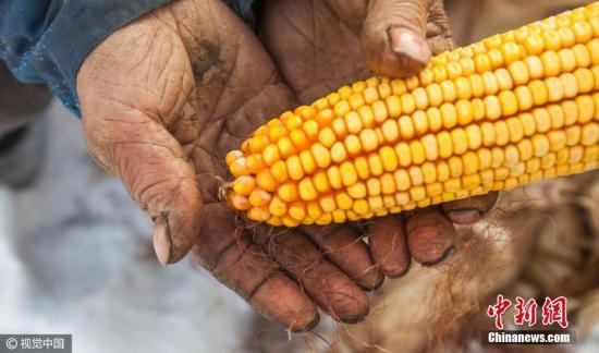 看守玉米地的老人。 图片来源:视觉中国
