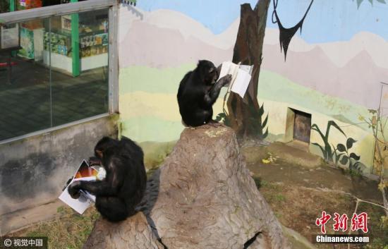 资料图:黑猩猩。 王成杰 摄 图片来源:视觉中国