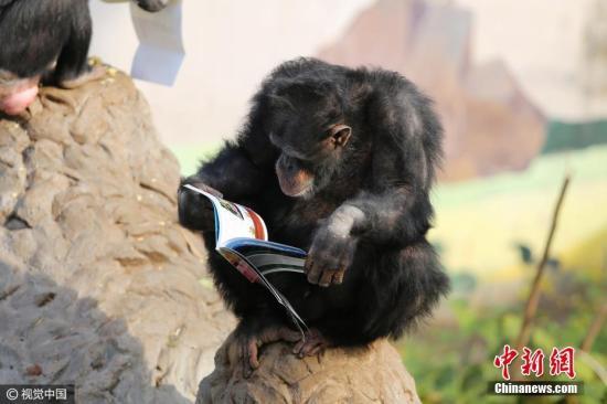 资料图:黑猩猩坐在石头上看书。(王成杰 摄 图片来源:视觉中国)