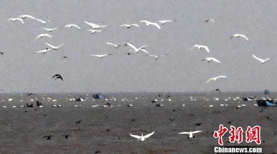 资料图:成群结队的小天鹅在闽江河口湿地上空飞翔。 刘可耕 摄