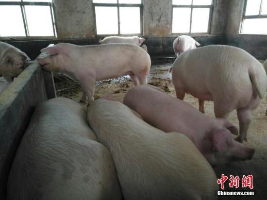 资料图:活猪。阚力 摄