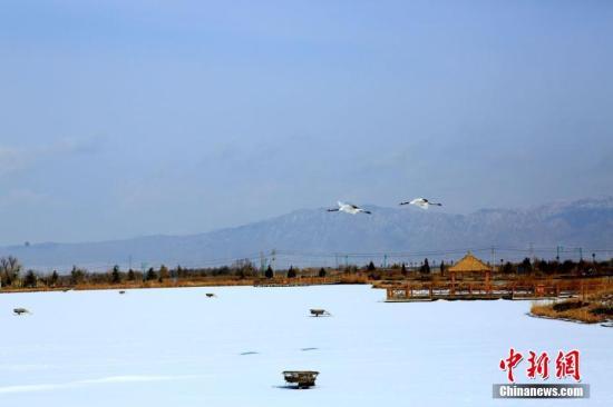 1月10日,几只丹顶鹤在甘肃张掖国家湿地公园振翅高飞。当日该地普降小雪,天气寒冷。张掖国家湿地公园鹤园的丹顶鹤在下午例行放飞后,兴奋地在湿地上空盘旋飞舞,吸引许多人前来观看拍照。2014年3月,地处甘肃河西走廊的张掖国家湿地公园从黑龙江齐齐哈尔扎龙自然保护区引进14只国家一级保护动物丹顶鹤和2只白头鹤。经过适应期、合群期和两个多月试放飞,丹顶鹤已适应当地环境。陈礼 摄