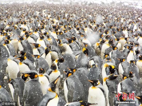 2017年1月11日讯,南乔治亚岛和南桑德韦奇岛,尽管气温降至零下,超过25万只帝企鹅聚集在海滩上,有些可以很方便的下水捉鱼,喂养宝宝。退休的工程师Ofer Agiv游览南极洲时拍下了这些震撼的场面。图片来源:视觉中国