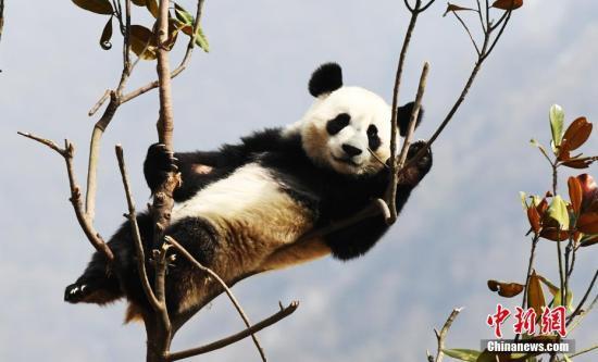 资料图:四川中国大熊猫保护研究中心的熊猫。<a target='_blank' href='http://www.chinanews.com/' >中新网</a>记者 安源 摄