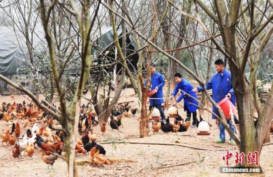 """资料图:""""90后""""青年创业者通过搭建线上线下家禽养殖销售平台,产品远销上海、杭州、广州、重庆和新余及周边地区。赵春亮 摄"""