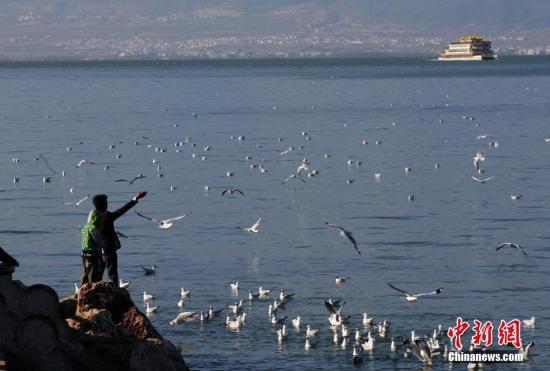 1月29日,正在洱海边给红嘴鸥喂食的民众。当日,冬季来大理避冬的红嘴鸥给洱海增添了不少热闹气氛,也成为大理民众及游客休憩、观鸥的好场所。 中新社记者 李进红 摄