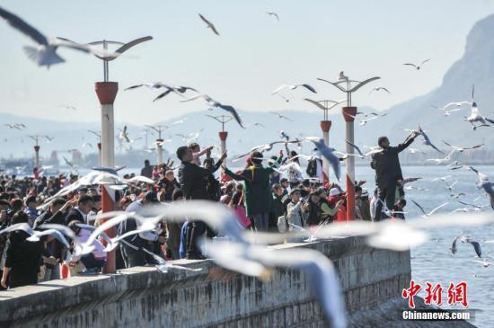 2月4日,春节长假刚刚结束,仍然有大批游客聚集到昆明滇池边,观鸥喂鸥,与红嘴鸥一起共享昆明暖阳和蓝天。中新社记者 任东 摄