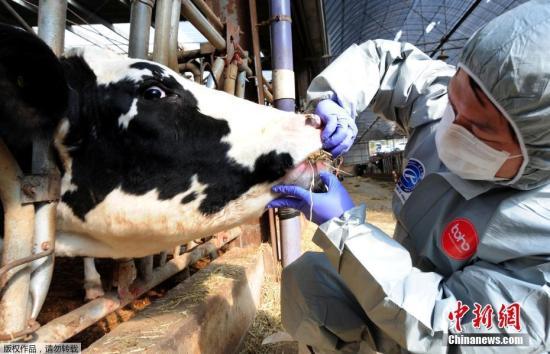 资料图:韩国相关工作人员对农场的牛进行口蹄疫情排查。