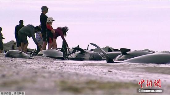 据悉,这是新西兰最大的一次鲸鱼搁浅事件,搁浅数量超过400头。