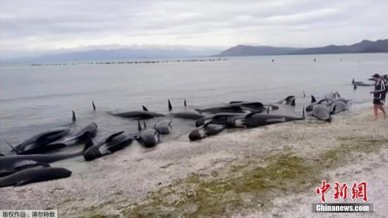 新西兰鲸鱼搁浅事件:28头鲸鱼被推回海中