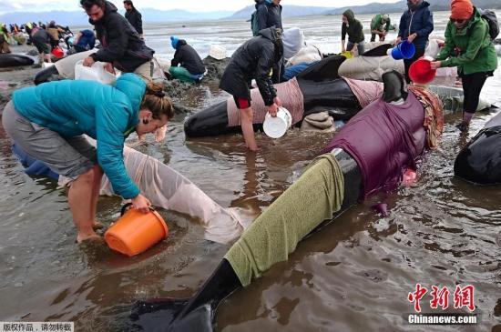 资料图:当地时间2017年2月,新西兰金色海滩数百头鲸鱼搁浅,当地民众自发组织救援。