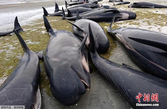 当地时间2月10日,新西兰金色海滩数百头鲸鱼搁浅海滩。