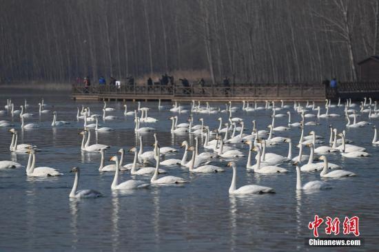 资料图:平陆三湾黄河湿地自然保护区三面环山,为大天鹅等候鸟提供了得天独厚的越冬栖息地,每年来自西伯利亚的近万只大天鹅在此越冬。 武俊杰 摄