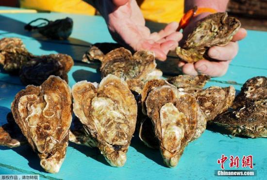 近日,在法国的勒卡特,牡蛎养殖者克里斯托弗·吉诺展现本身养殖的心形牡蛎,准备在恋人节期间出售。