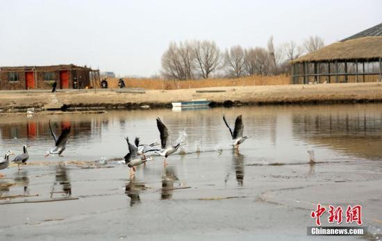 2月16日,地处甘肃河西走廊,祁连山下的张掖市,在春风的吹拂下,气候开始温暖起来。在张掖国家湿地公园里,湖水冰面开始消融,一群斑头雁在此嬉戏、觅食。它们有站的,有卧的,还有小心翼翼在冰面上行走的,萌态十足。 陈礼 摄