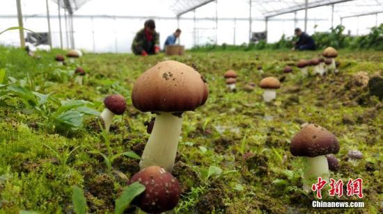 資料圖:可食用蘑菇。趙春亮 攝