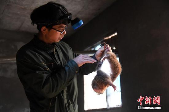 """资料图:从教师到农民,江西新余""""鼠王""""的返乡创业路。图为何勇刚在检查一只竹鼠的健康状况。 周亮 摄"""
