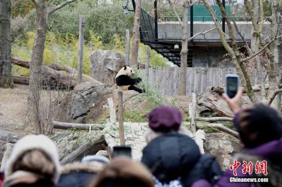 """当地时间2月16日,众多美国民众来到华盛顿国家动物园,与旅美大熊猫""""宝宝""""告别。""""宝宝""""将于本月21日启程回国。此后,华盛顿动物园的大熊猫数量将降为三只,分别是""""宝宝""""的父母""""添添""""和""""美香"""",以及弟弟""""贝贝""""。<a target='_blank' href='http://www.chinanews.com/'>中新社</a>记者 刁海洋 摄"""