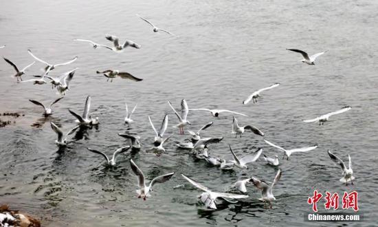 2月21日,民众在永靖县黄河岸边给河鸥喂食。甘肃永靖县境内的黄河三峡湿地是黄河中上游最大的人工湿地,由炳灵峡、刘家峡、盐锅峡组成。随着黄河生态环境的不断改善和人们爱鸟、护鸟意识的提高,每年冬春时节,数以万计的候鸟会来这里栖息,越冬。郭红 摄