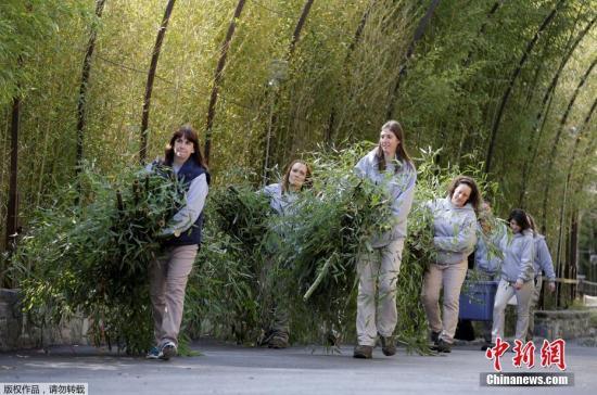 """华盛顿国家动物园的饲养员们抱来了竹子,供""""宝宝""""在返程的路上食用。陪""""宝宝""""同行的有华盛顿国家动物园的一名饲养员和一名兽医,以及20多公斤的竹子、约1公斤的苹果等食物。"""