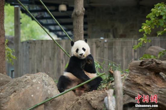 """大熊猫""""宝宝""""在玩耍。中国大熊猫保护研究中心 供图"""