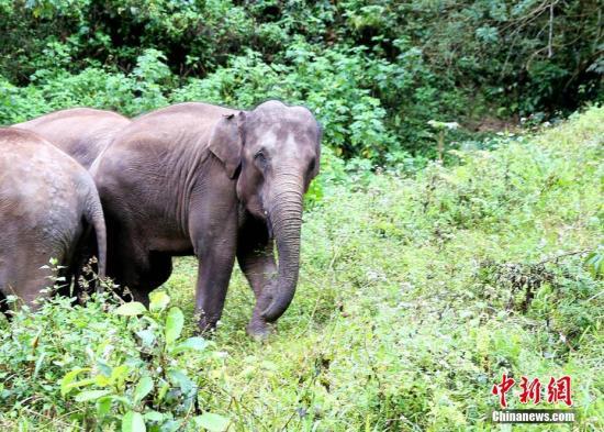 """2月23日,记者从云南省普洱市宁洱县获悉,近日,13头野生亚洲象接连数次夜闯农户家中""""抢夺""""粮食。所幸未造成人员伤亡。常宗波 摄"""