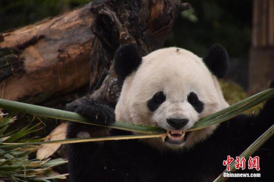 """2月23日是旅美大熊猫""""宝宝""""回国的第一天,""""宝宝""""在经过一晚的适应后还沉浸在兴奋中,""""宝宝""""在新家里不断四处走走看看,想把新家的每个地方都瞧个遍,打个滚,染上自己的味道。李传有 摄"""