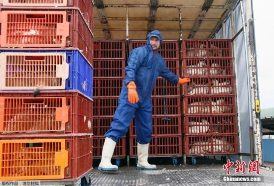 当地时间2017年2月22日,法国西南部Saint Aubin,当地禽农场捕捉鸭子送往屠宰场进行宰杀。为了对抗禽流感疫情,法国当局决定扑杀该国西南部朗德地区的36万只鸭子,该地区为法国鹅肝产品的主要产地,产量占全国四分之一。