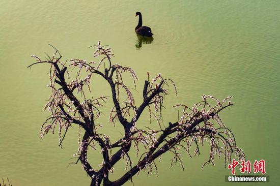 航拍盐城大丰梅花湾:满园春色关不住,春江水暖鸭先知。泱波 摄