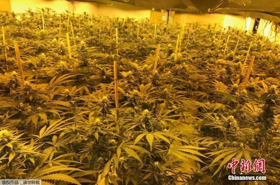 资料图:地下大麻种植场。