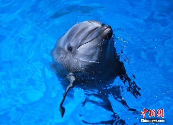 为拯救宽吻海豚,新西兰禁止游客与其游泳