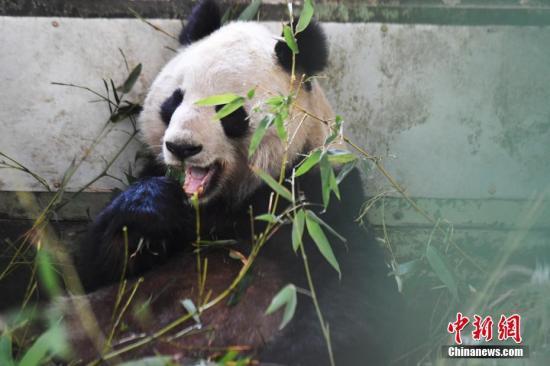 """大熊猫""""蜀兰"""" 资料图 <a target='_blank' href='http://www.chinanews.com/'>中新社</a>记者 杨艳敏 摄"""