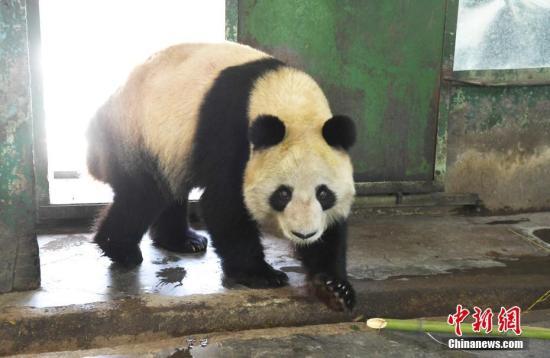 """大熊猫""""蜀兰"""" 资料图。<a target='_blank' href='http://www.chinanews.com/'>中新社</a>记者 杨艳敏 摄"""