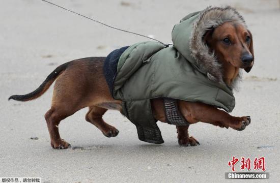"""俗话说,人要衣装马要鞍,宠物狗们也""""爱穿""""漂亮衣裳。2017年3月5日,英国威尔士的彭布罗克郡就迎来了别开生面的""""腊肠狗时装赛"""",让人一饱眼福。在彭布罗克郡的一片沙滩上,腊肠狗主人们带着精心装扮过的宠物狗,纷纷在沙滩T台上亮相。有的狗狗脖子上挂着闪亮的金属项圈,身穿娇嫩的粉色衣服,远远透着一股名媛范儿;还有的宠物狗走小清新路线,身穿休闲衣,脖子上系着一条绿底碎花小围巾。甚至还有主人给狗狗戴上了拉风的毛边帽子,拉着狗狗在沙滩上遛弯时,一副威风凛凛的样子。"""