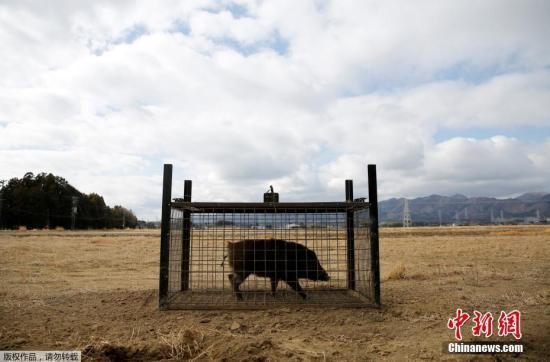 一头野猪被关在笼子里,周围一片荒芜。