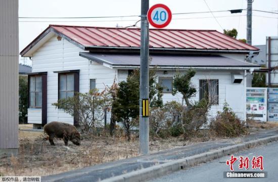 浪江町町长Tamotsu Baba说,现在已经说不清楚人和野猪谁是浪江町的主人了。目前,为了准备居民月底回到浪江町,这里已经展开了猎杀野猪的行动。