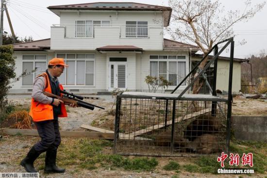 资料图:2017年,东京电力福岛第一核电站事故发生六年后,日本民众将重新回到福岛核事故区。在这六年里,福岛无人区野猪数量不断增加,成为了野猪的乐园。为迎接三月底回到家乡的居民,福岛县的富冈町、浪江町正在展开猎杀野猪的行动。