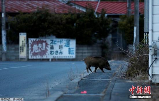 2011年,一场地震引发的海啸导致福岛第一核电站发生多次事故。在核泄漏发生之后,日本当局划设了超过20公里的禁区,禁区内16万名居民被迫搬离家园。日本福岛县浪江町位于发生核辐射泄漏的福岛核电站二十公里范围内,现在已经成为野猪的乐园。图为野猪在浪江町空无一人的街道中觅食。