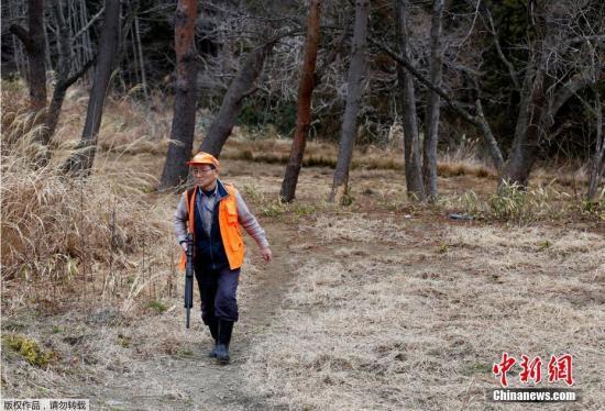 """""""人们离开这里后,野猪下山占领了我们的城镇。这里舒适且食物充足,又缺少人的捕杀,现在它们已经不回去了。""""坂本一郎说。坂本补充道,从去年4月起,该队已经捕获了约300只野猪,并打算在禁入令被废除后继续猎杀工作。"""