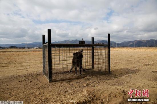 在福岛县富冈町,猎人坂本一郎带领一个13人的猎人小组,开始了猎杀野猪。他们设置了约30个笼子作为陷阱,每周两次使用米粉作为诱饵吸引野猪。