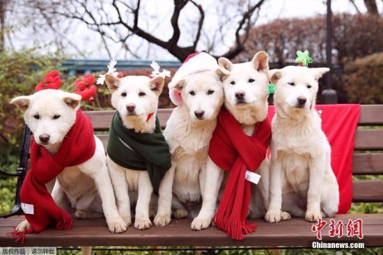 """据韩国""""亚洲经济""""报道,有人在网站上留言,要求惩罚涉嫌虐待动物的朴槿惠,并表示警察厅已经受理此案。据称,朴槿惠在青瓦台养了9只韩国名犬珍岛狗。但在被弹劾后,12日晚间搬到首尔三成洞私宅时,将狗全部遗弃在青瓦台,违反了""""动物保护法""""。图为朴槿惠宠物狗资料图。文字来源:环球网文字来源:环球网"""