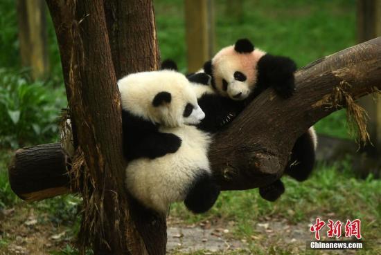 """动物园通过网上征名和投票环节,最终为3只大熊猫幼仔分别取名为""""渝宝""""、""""渝贝""""、""""良月""""。图为三只幼仔大熊猫正在嬉戏玩耍。 陈超 摄"""